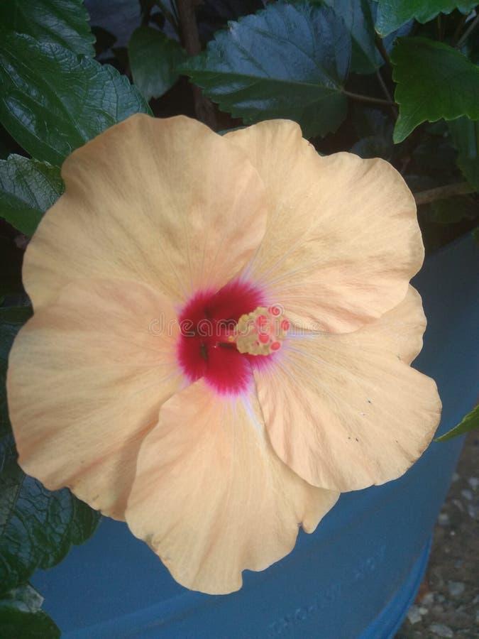 Flor e folhas amarelas do hibiscus imagem de stock