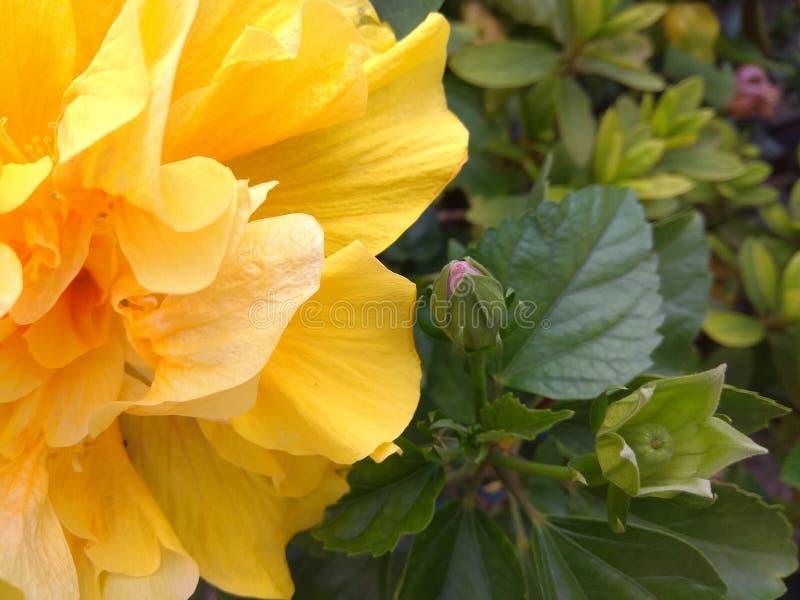 Flor e folhas amarelas do hibiscus fotos de stock