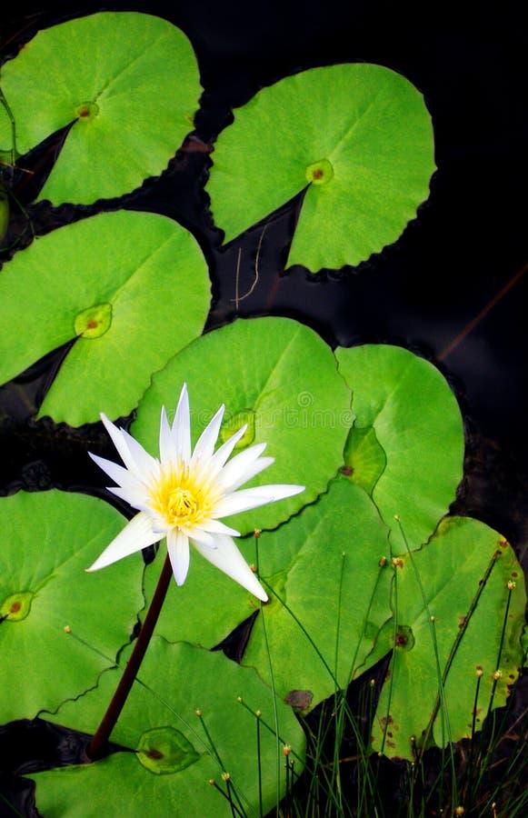 Flor e folhas do lírio de água foto de stock royalty free
