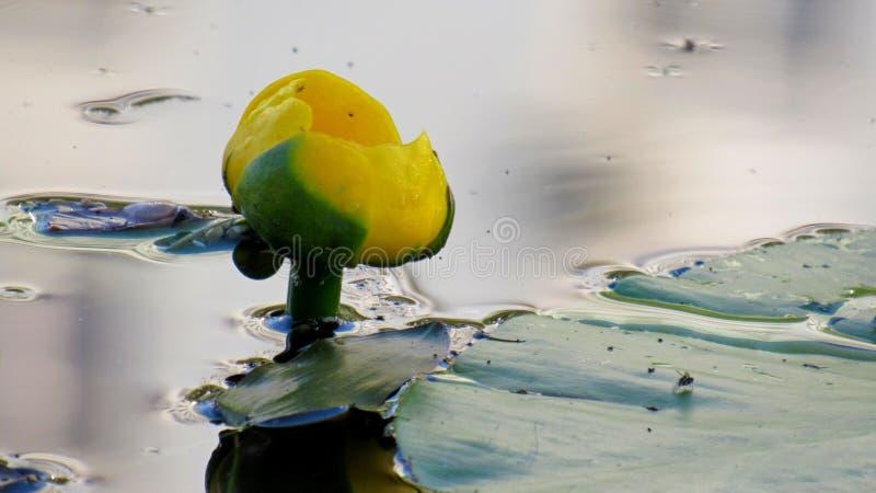 Flor e folhas do lutea amarelo do Nuphar do Água-lírio foto de stock royalty free