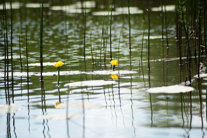 Flor e folhas do lutea amarelo do Nuphar do ?gua-l?rio No lago fotografia de stock