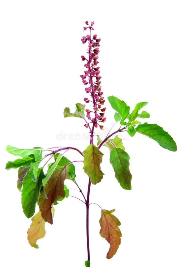 Flor e folhas do tulasi da manjericão imagem de stock