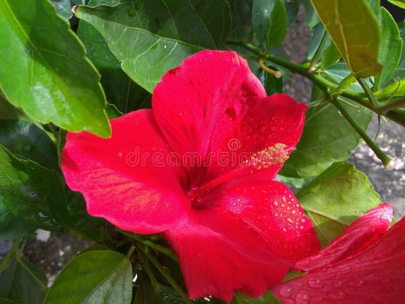 Flor e folhas vermelhas do hibiscus imagens de stock