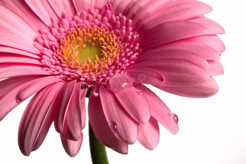 Flor e gotas em um branco foto de stock royalty free