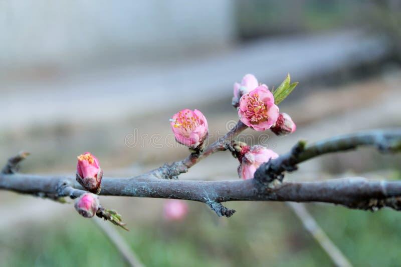 Flor e haste do pêssego imagem de stock royalty free