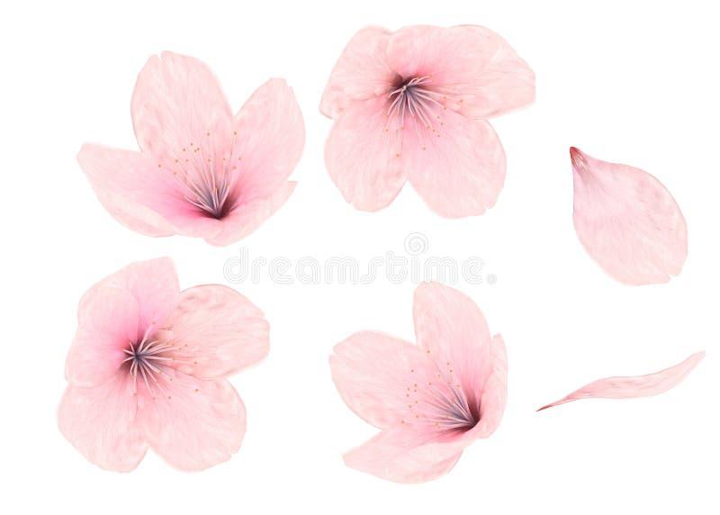 Flor e pétalas cor-de-rosa no fundo branco foto de stock