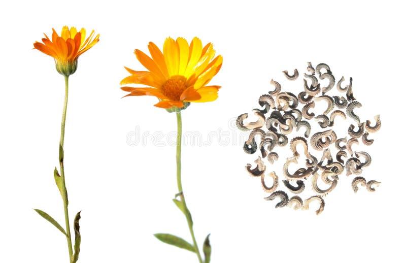 Flor e sementes do Calendula isoladas no branco imagens de stock royalty free