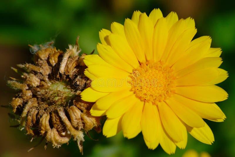 Flor e sementes do cravo-de-defunto de potenciômetro imagem de stock
