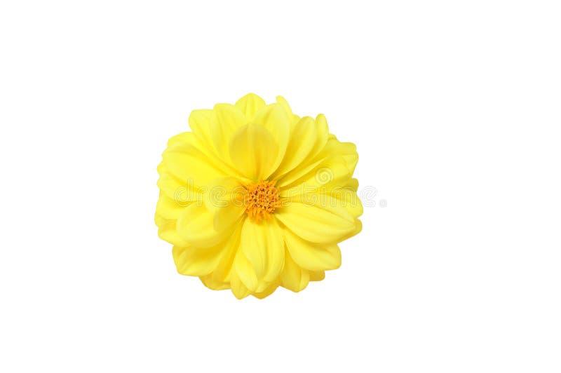 Flor em botão amarela da dália isolate fotos de stock royalty free