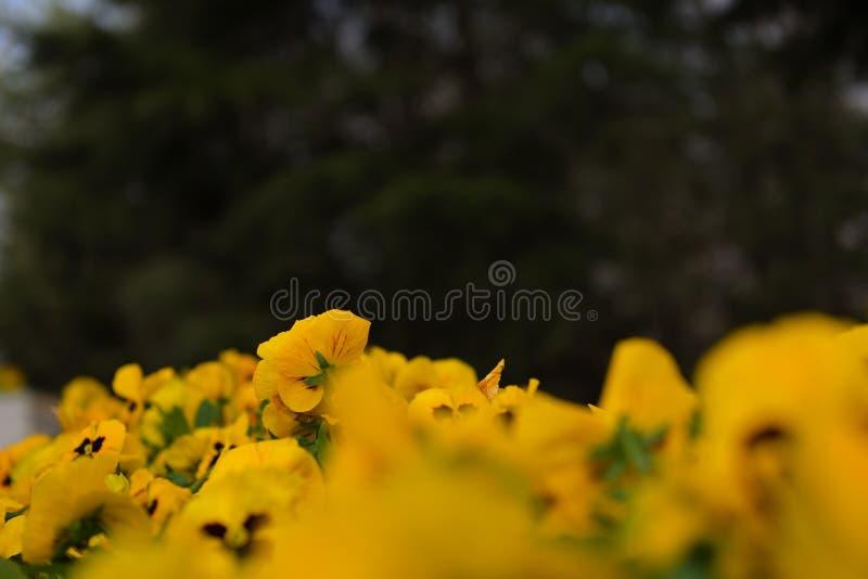 A flor em botão amarela e o ‰ preto do ¼ do ¼ ˆ2ï do backgroundï foto de stock