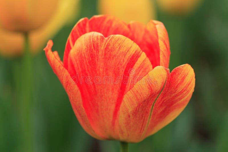 Flor em botão bonita imagens de stock