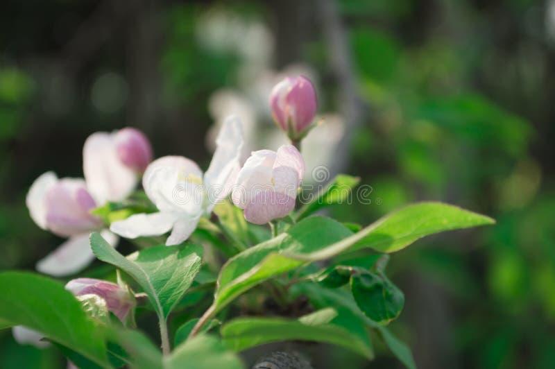 Flor em botão branco no ramo fotos de stock royalty free
