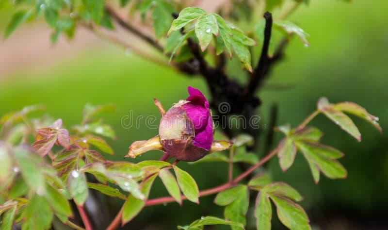 Flor em botão cor-de-rosa da peônia com gotas do orvalho fotografia de stock royalty free