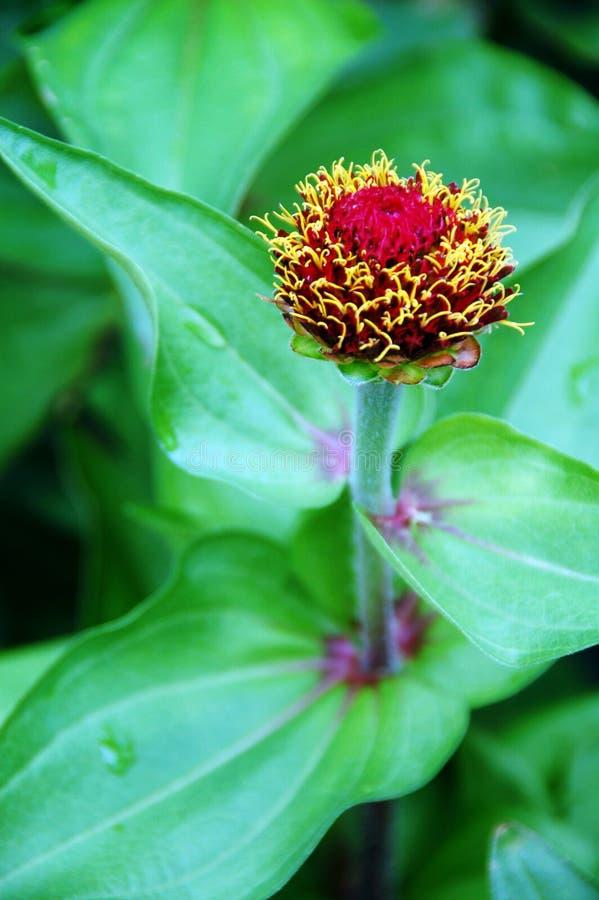 Flor em botão cor-de-rosa do Calendula imagens de stock