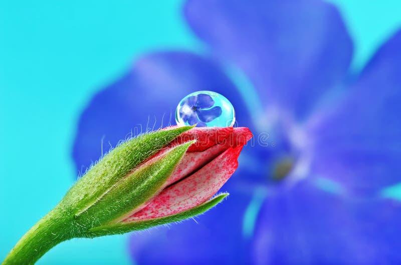 Flor em botão cor-de-rosa e gota de orvalho bonita foto de stock