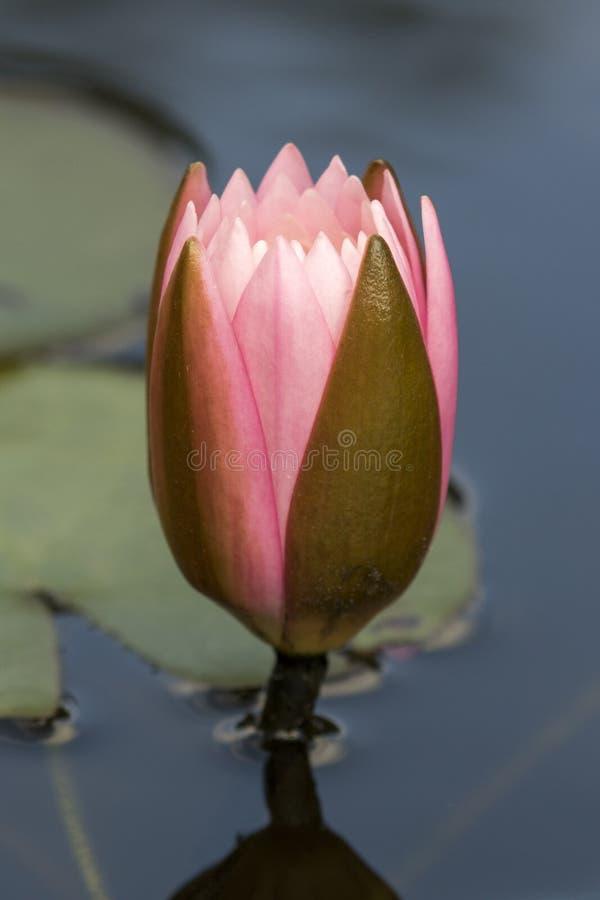 Flor em botão cor-de-rosa e verde de lírio de água - nymphaea fotos de stock