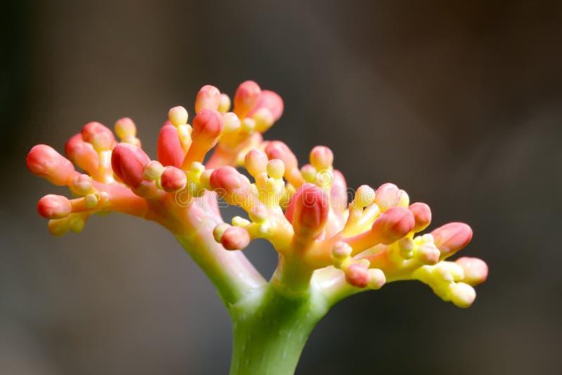 Flor em botão delicada da planta suculento, adôbe rgb foto de stock