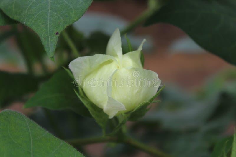 Flor em botão do algodão com simetria perfeita foto de stock royalty free