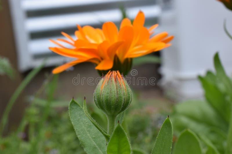 Flor em botão 02 do Calendula imagem de stock