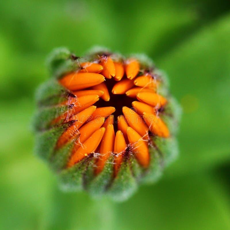 Flor em botão do Calendula foto de stock royalty free