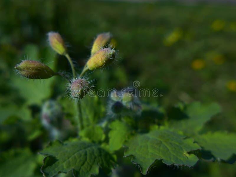 Flor em botão do maior Celandine - Chelidonium Majus fotografia de stock royalty free