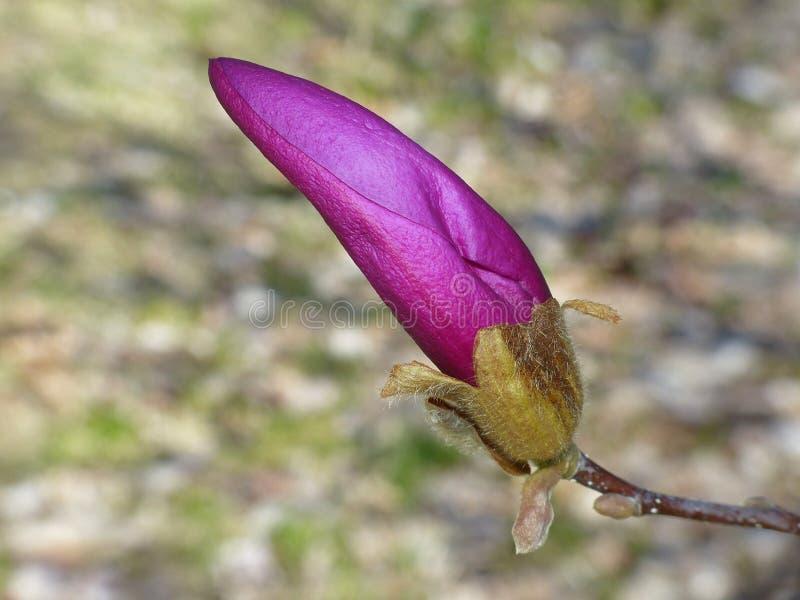 Flor em botão roxa imagem de stock royalty free