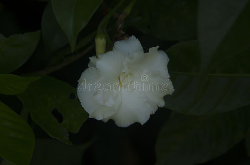 Flor em ferradura elegante branca fotos de stock royalty free