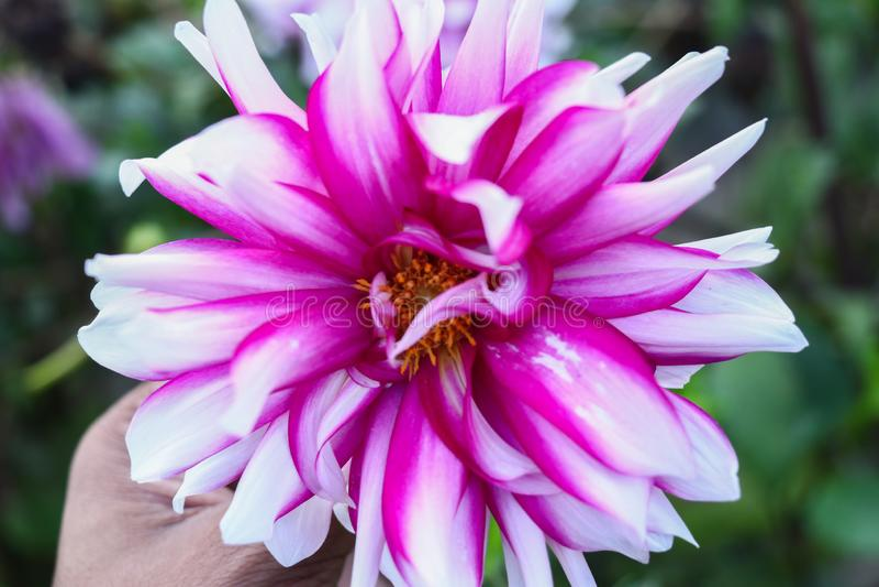 Flor em meus mão e fundo verde fotografia de stock