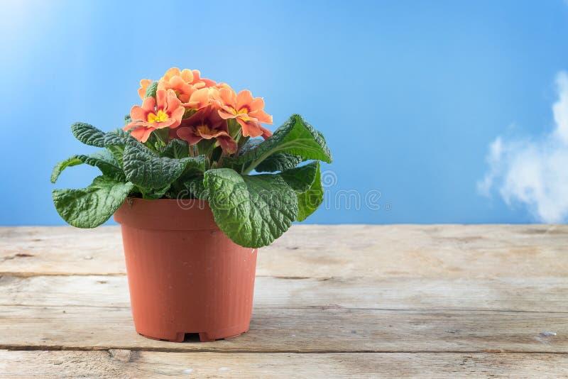 Flor em pasta híbrida vulgar o da mola da prímula alaranjada da prímula foto de stock royalty free