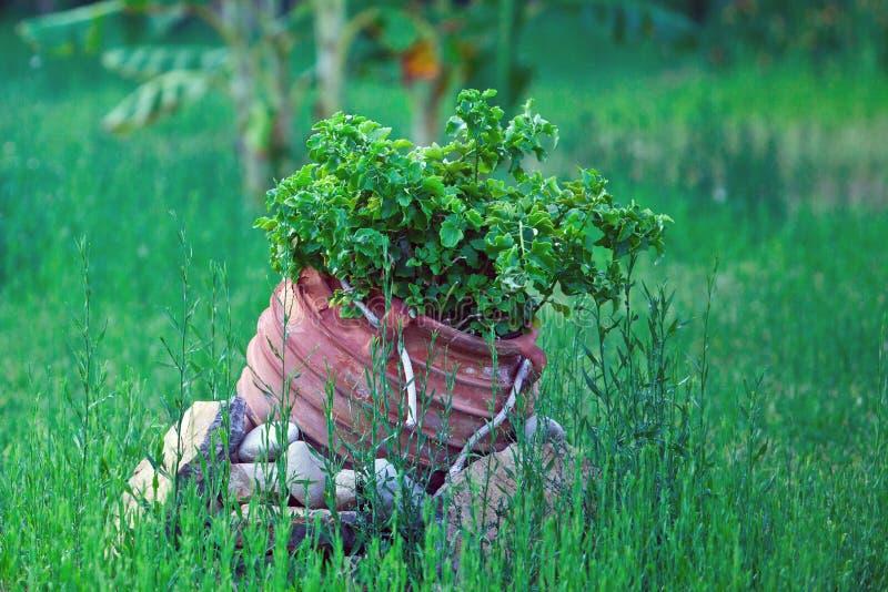 Flor em um potenciômetro em um gramado imagem de stock royalty free
