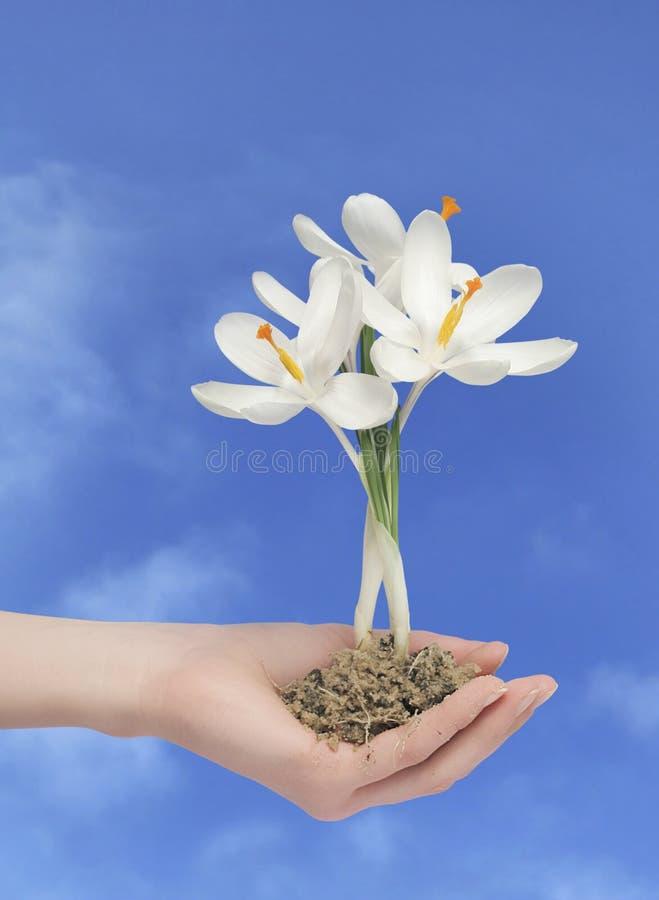 Flor em uma mão com trajeto fotografia de stock royalty free