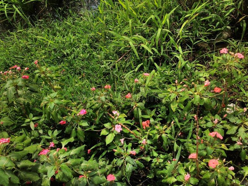 Flor en campo del arroz fotografía de archivo libre de regalías