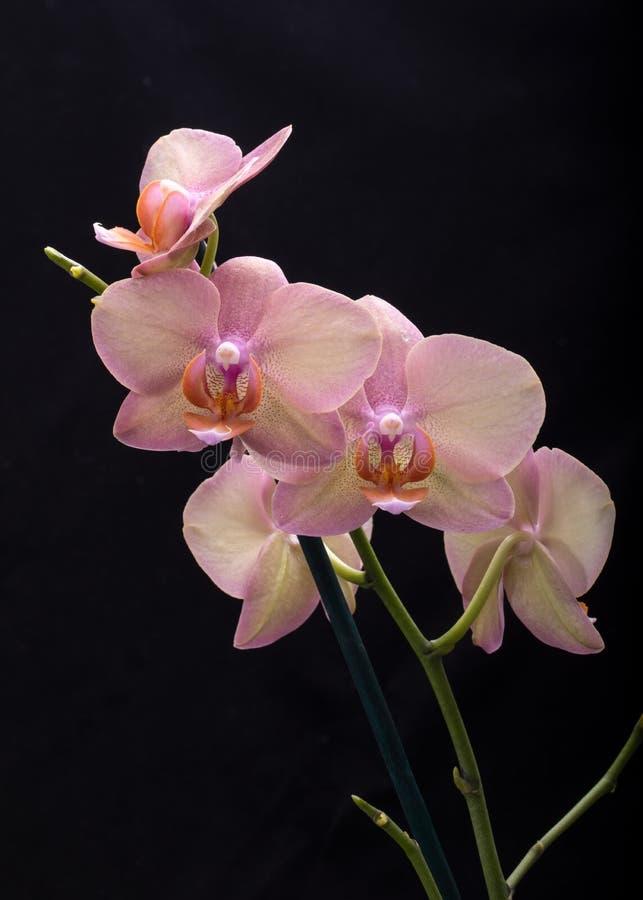 Flor en colores pastel de la orquídea fotos de archivo libres de regalías