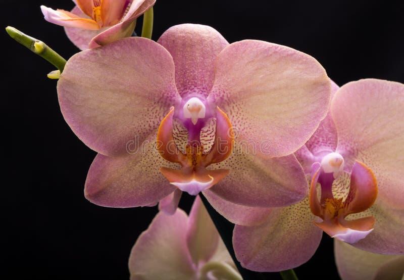 Flor en colores pastel de la orquídea fotografía de archivo libre de regalías