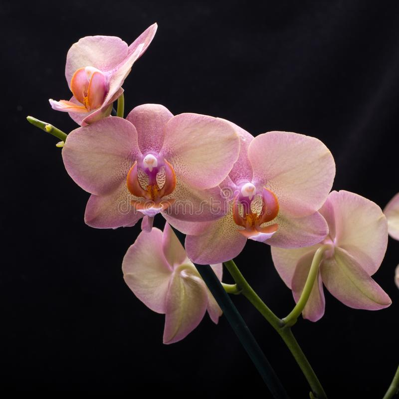 Flor en colores pastel de la orquídea imagenes de archivo
