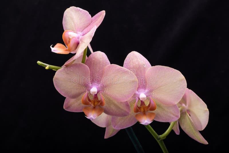 Flor en colores pastel de la orquídea foto de archivo libre de regalías