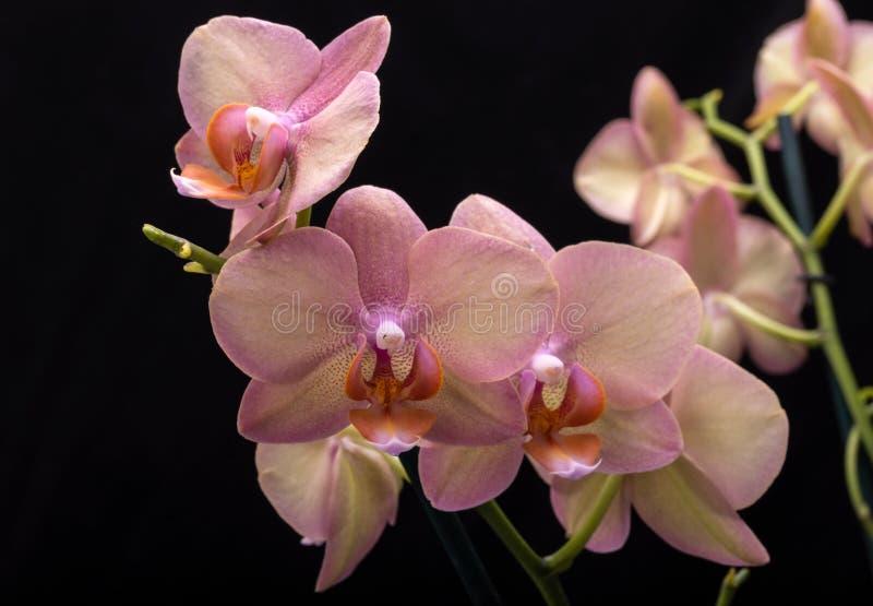 Flor en colores pastel de la orquídea imagen de archivo
