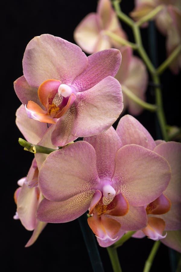 Flor en colores pastel de la orquídea imagen de archivo libre de regalías