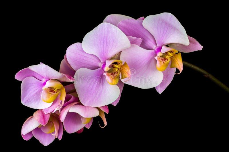 Flor en colores pastel de la orquídea fotografía de archivo
