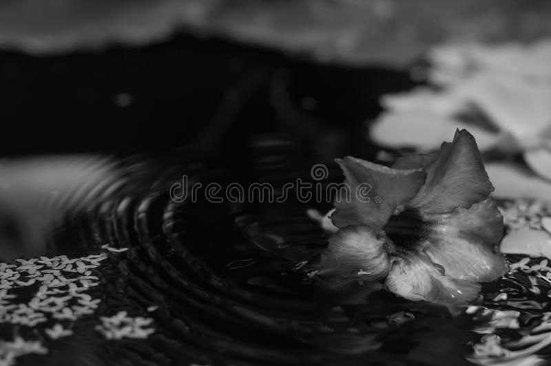 Flor en el agua fotografía de archivo