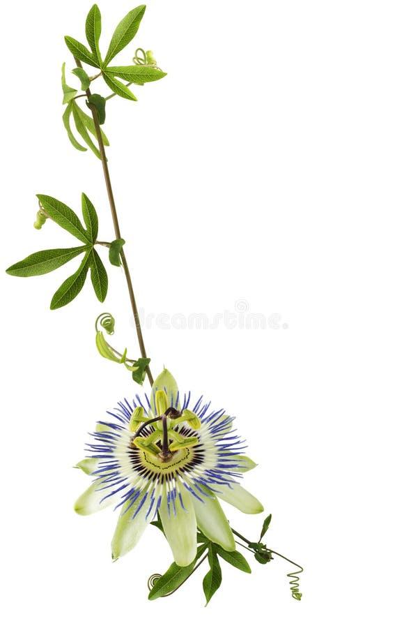 Flor en el blanco foto de archivo libre de regalías