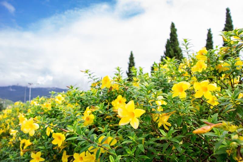 Flor en el chiangmai Tailandia imágenes de archivo libres de regalías