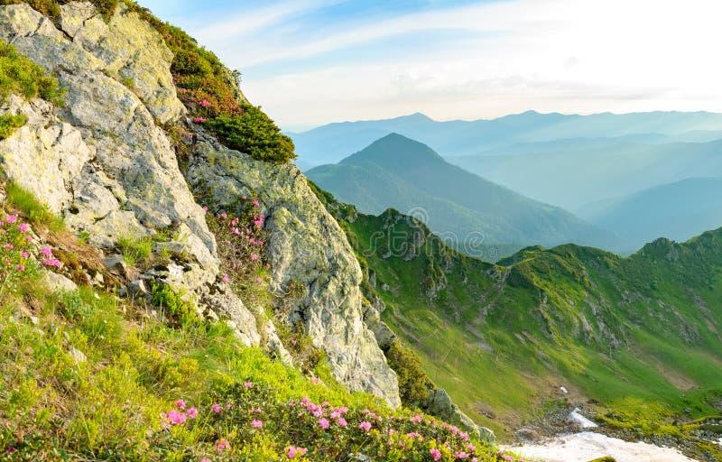 Flor en el rododendro en roca en montañas foto de archivo libre de regalías