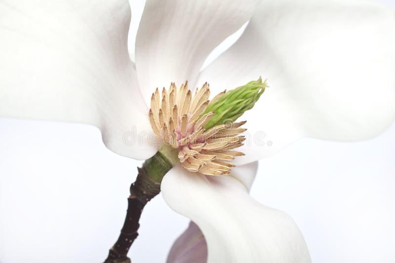 Flor en flor rosada de la magnolia foto de archivo