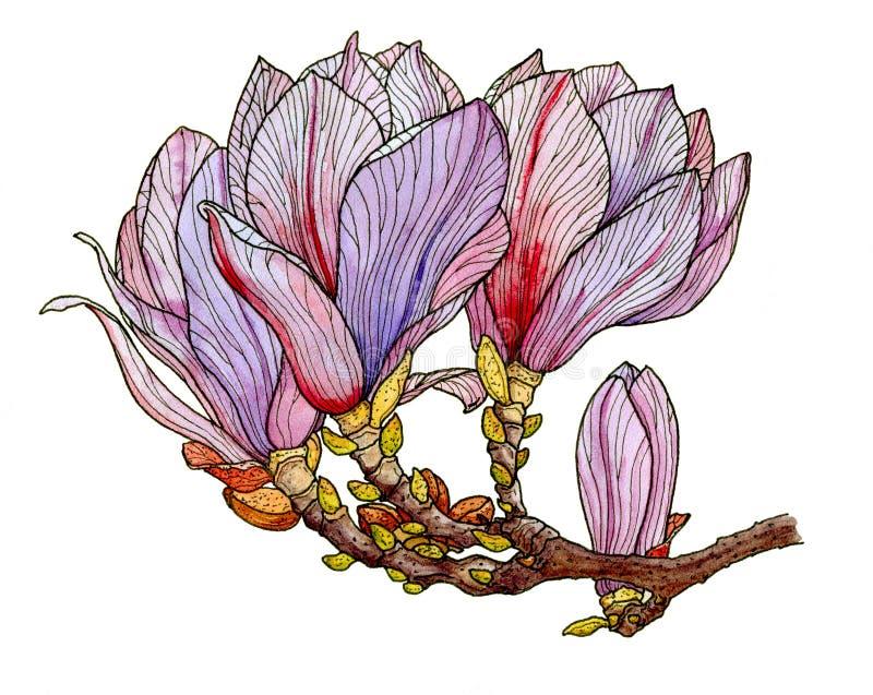 Flor en flor rosada de la magnolia ilustración del vector