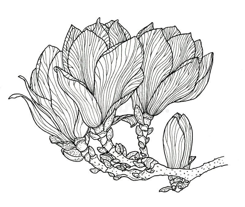 Flor en flor rosada de la magnolia libre illustration