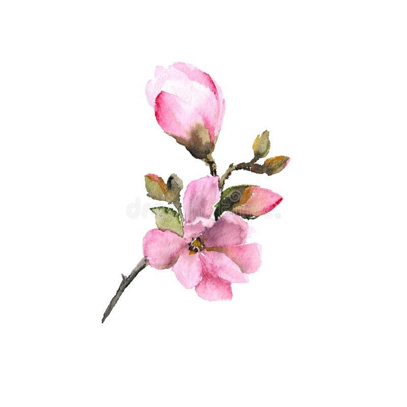 Flor en flor rosada de la magnolia Flor de la acuarela Rama floral con las flores rosadas Casarse diseño floral de la invitación  libre illustration