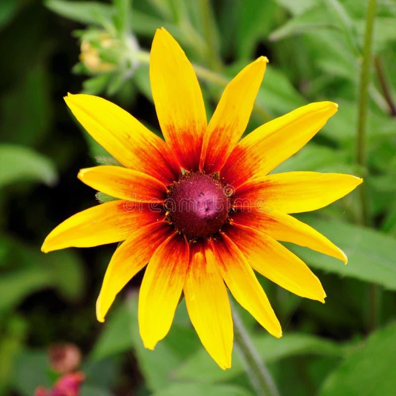 Flor ensolarada da beleza de meu quintal fotos de stock royalty free