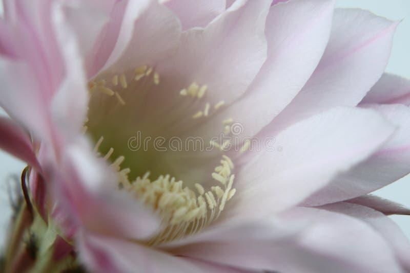 Flor esperada desde há muito tempo do cacto imagem de stock