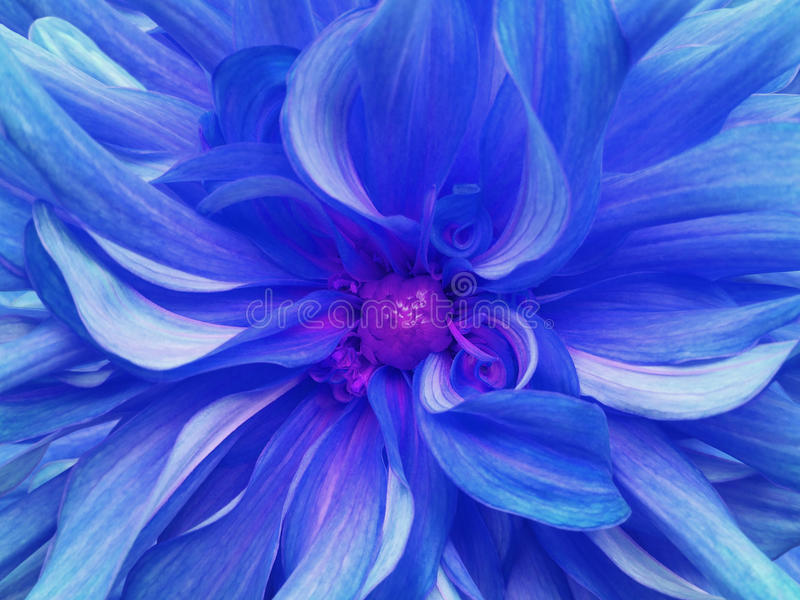 Flor excelente azul del crisantemo primer Macro fotografía de archivo libre de regalías